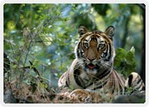 Tiger, Wildlife, India